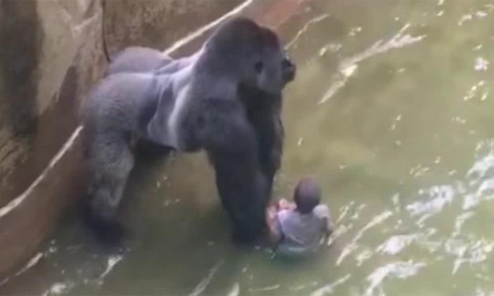 morte-de-gorila-recebe-6x-mais-atencao-da-midia-que-massacre-de-cristaos