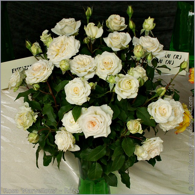 Rosa 'Marvellous' - Róża