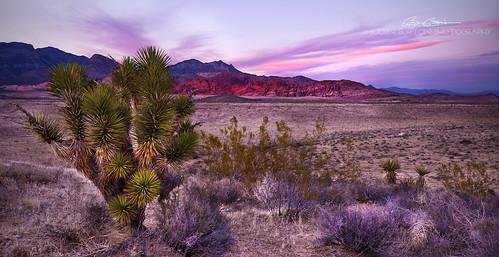 redrockcanyon pink sunset landscape nikon purple dusk nevada joshuatree mojavedesert d800 nikond800 nikon1635mmf4vr bjornburton