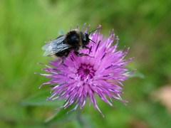 bee on purple knapweed
