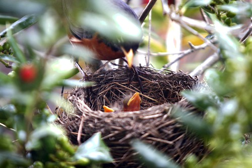 baby robin birds are hungry, baby robin birds are hungry, baby birds, birds, hatching, robin birds, chicks, robin chicks, nest, parent, feeding, beak, hungry, worms, worm, robins nest, tree, nature, fecal sac, poop sac