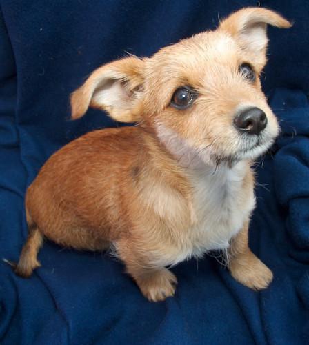 R Chihuahuas Smart STELLA | Dachshund/Ter...