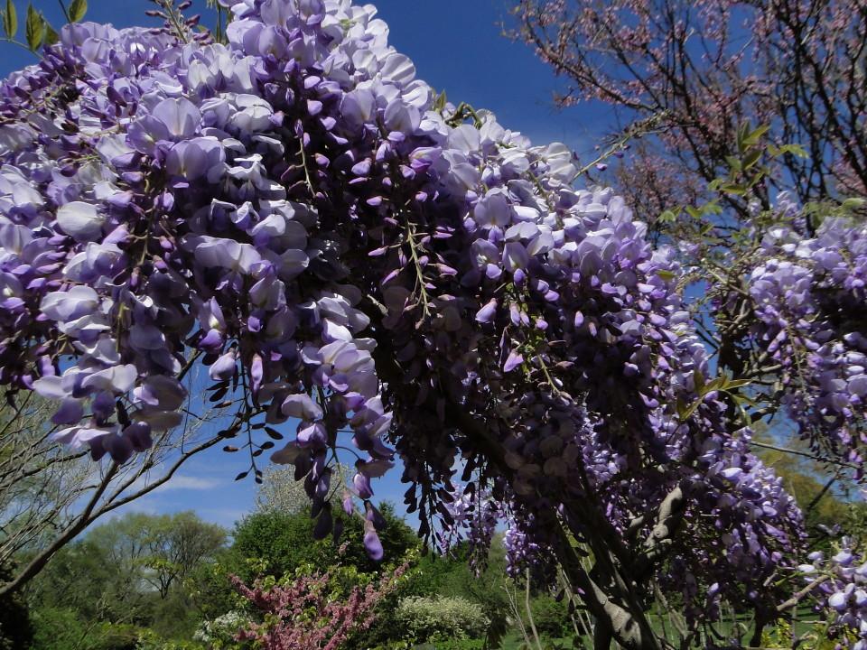 6-77-21apr12_3709_Botanical_garden japanese wisteria