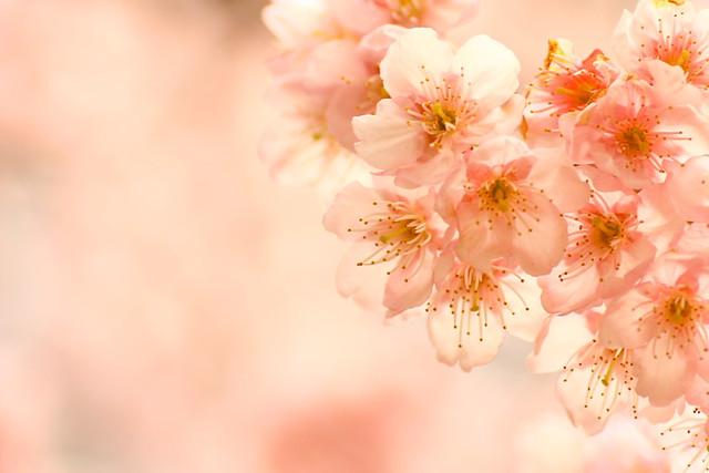 Sakura 2012-1
