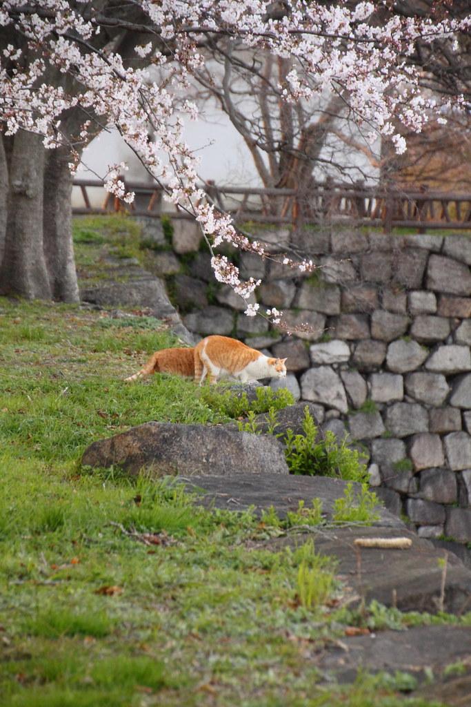 花見客を眺める猫1