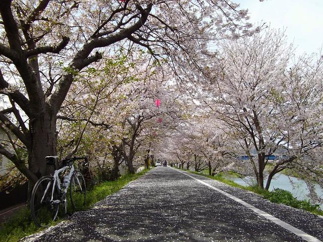 井原堤の桜 #1