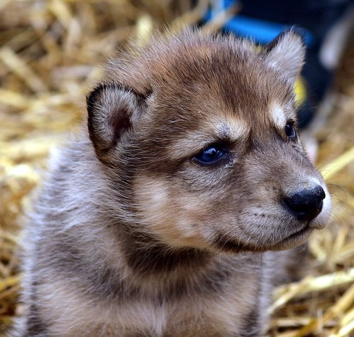 2012-04-12 Fur-Ever Wild-Wolf Cubs & other furry friend's 134 by puckster55pics