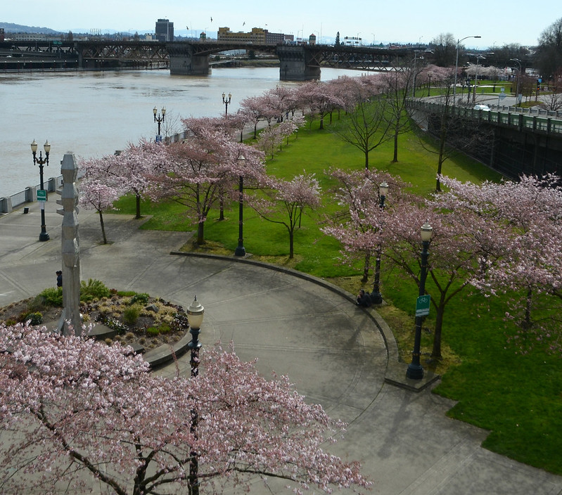tom_mccall_waterfront_park_march_24_blooming_cherry_trees