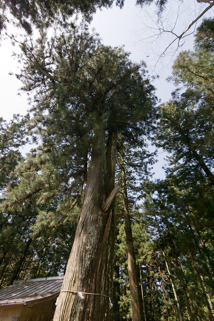#23 The Giant Cryptomeria of Ooashi Shrine