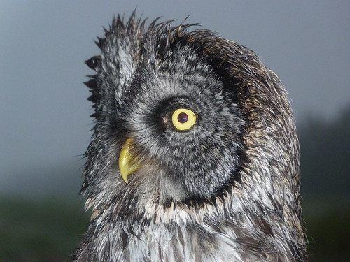 Great Gray Owl in the rain