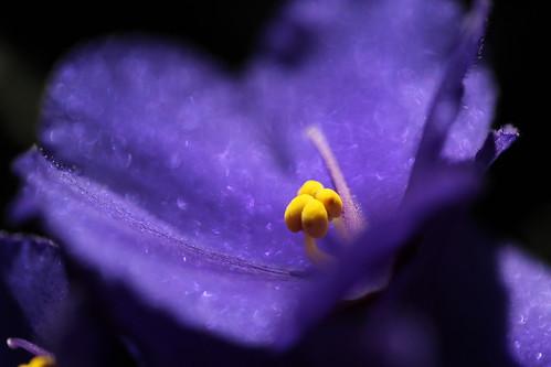 160/365: African Violet