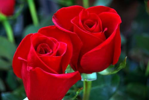 Rosa roja por Sant Jordi