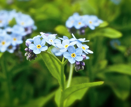 Forget-me-nots by felixtrio
