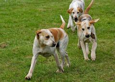 louisiana catahoula leopard dog(0.0), danish swedish farmdog(0.0), english foxhound(0.0), american foxhound(0.0), english coonhound(0.0), hunting dog(0.0), beagle(0.0), coonhound(0.0), dog breed(1.0), animal(1.0), harrier(1.0), dog(1.0), pet(1.0), street dog(1.0), mammal(1.0), pointer(1.0),
