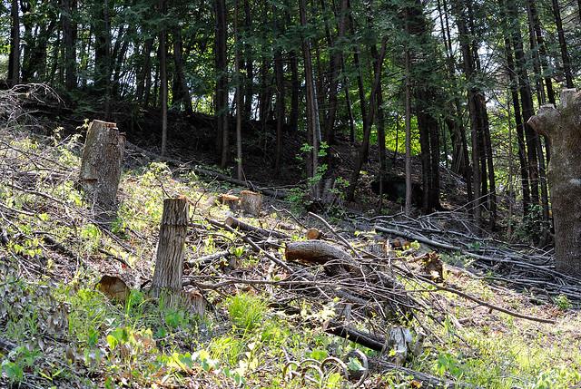 台場クヌギの伐採地