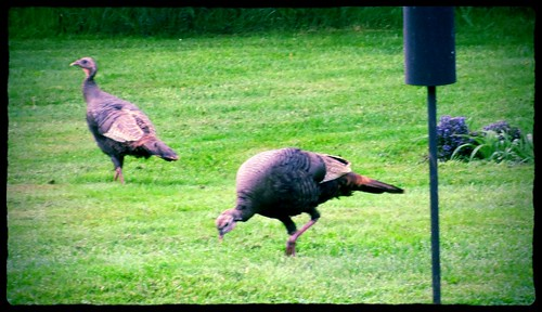 Wild turkeys at our bird feeders