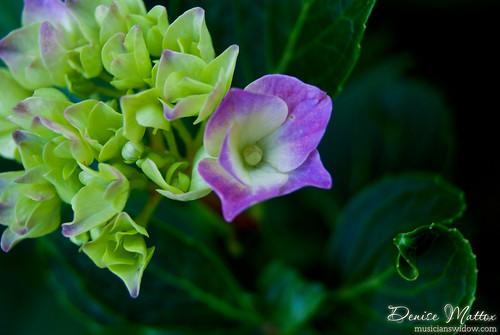 189: Budding hydrangea