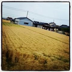 愛媛で時々黄金色の穂がうわーっと広がってる。麦。