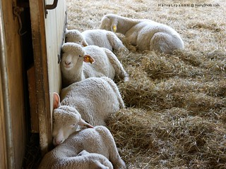 Five Comfortable Sheep