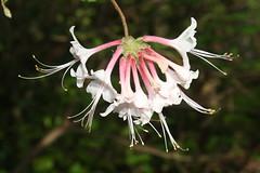 honeysuckle, flower, wildflower, flora,