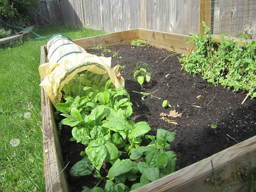 Raised bed and my crazy spinach