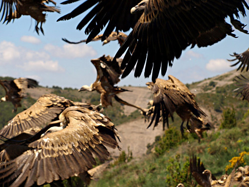 Vultures feeding in the Pyrenees