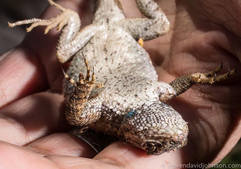 Eastern fence lizard, Shenandoah River State Park, Virginia