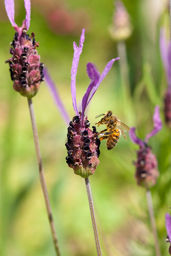 france macro nature garden sony bee honey getty alpha gettyimages frenchlavender sigma105mmf28macro a700 sigma105mm sigma105mmf28exdgmacro sonyalpha donotusewithoutpermission lamothestheray sonyalpha700 minoltaamount