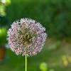 flower_ballheaded onion_