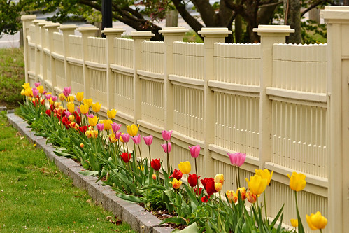 Tulips Along The Fence by KAM918