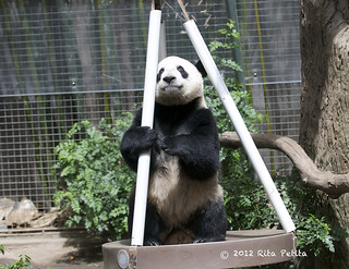 Yun Zi tying to figure out how to dismantle the swing