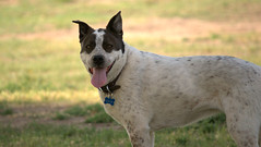 dog breed, animal, dog, australian stumpy tail cattle dog, pet, guard dog, australian cattle dog, carnivoran,