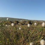 Bog Cotton in Motion