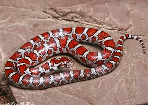 The Herping Michigan Blog: MI Reptiles