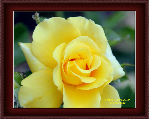 Yelow rose in frame. Rosa amarilla enmarcada.[Explored #286 11-06-2012]