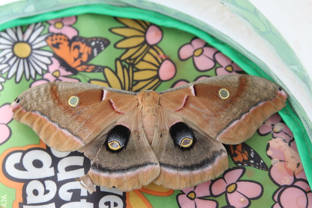 Polyphemus Moth laying eggs