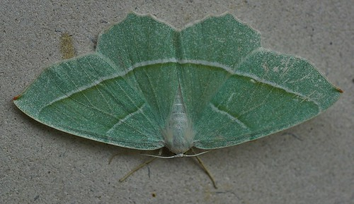 Light Emerald Moth Campaea margaritata Pegwell Garden by Kinzler Pegwell