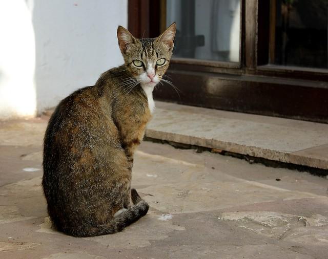 Marocko Katt