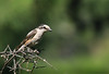 Young Masked Shrike by Φ-Filippos-Κ