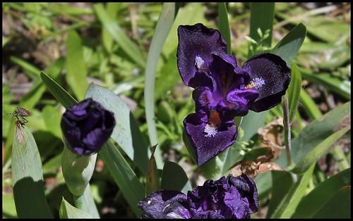 Iris nain 'Naos' (2)