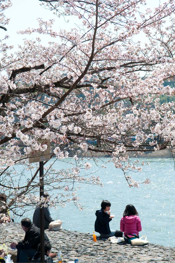 お花見|宇治川さくらまつり