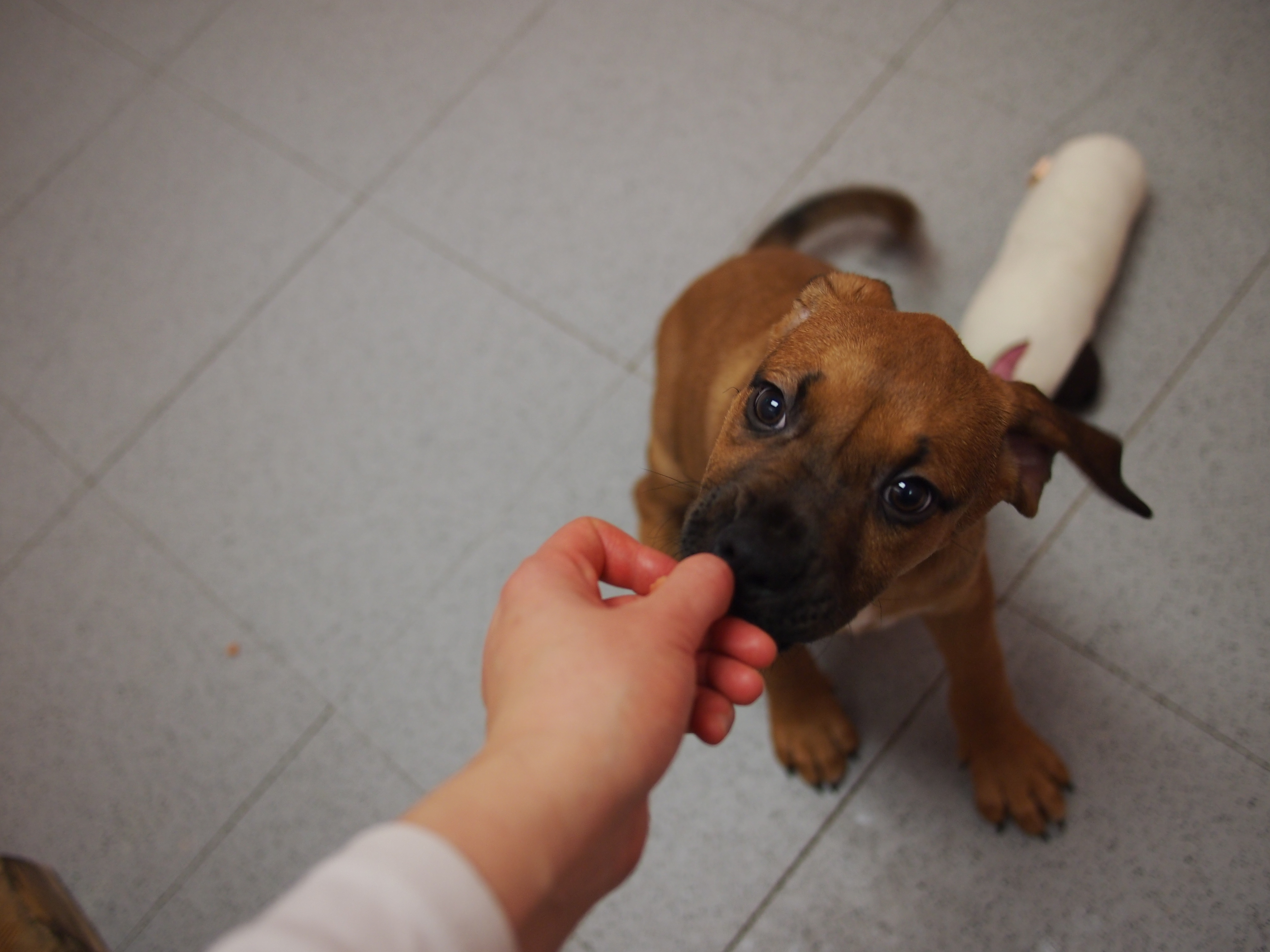 Boxer Hound Mix Puppies Images & Pictures - Becuo