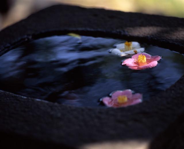 水面の花房