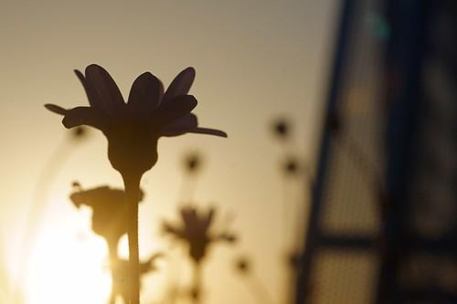park blue sunset flower japan photography tokyo evening spring glow sony daisy 365 tachikawa 立川 公園 takashi showa commemoration 夕焼け 昭和 nex 雛 366 菊 記念 kitajima 瑠璃 turntable00000 るりひなぎく
