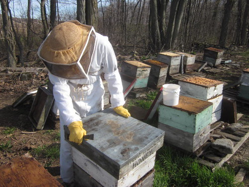 checking the beehives, spring, dead bees, diseases, Ontario