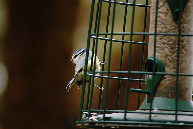 Close-up of Blue Tit on feeder