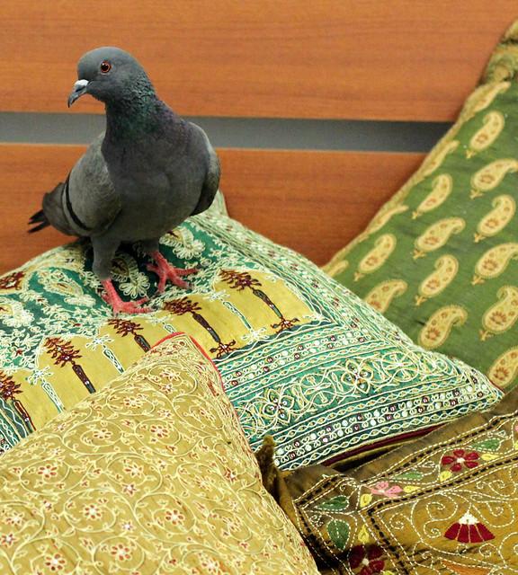 Comfortable Pigeon