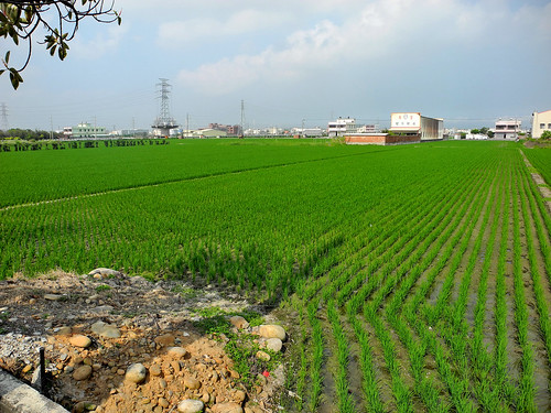 Taichung Rice Paddy