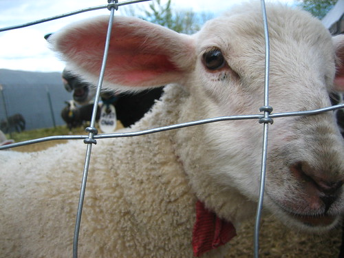 friendly ewe lamb