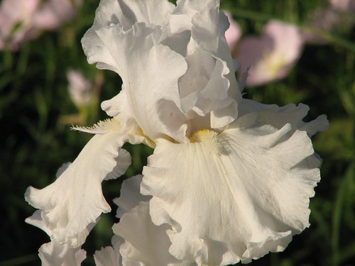 Iris 'Alabaster Unicorn'